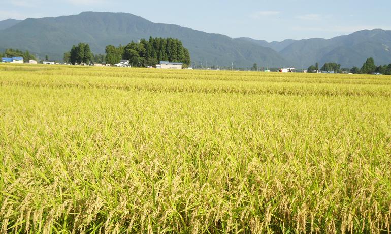 豊けき秋田に稲刈りシーズン到来です♪