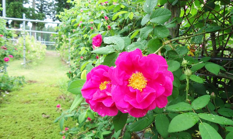 赤薔薇の起源・ガリカローズ