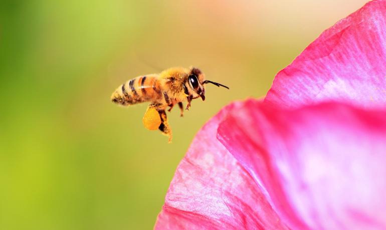 女系家族のミツバチ