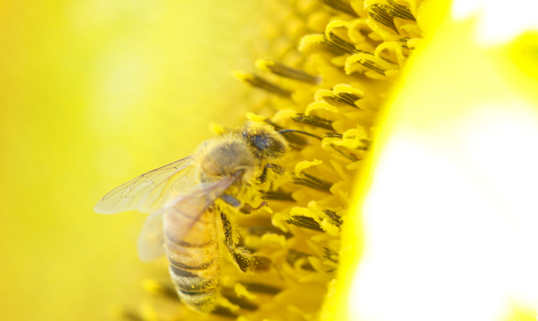 ミツバチが作り出す栄養食・花粉だんご