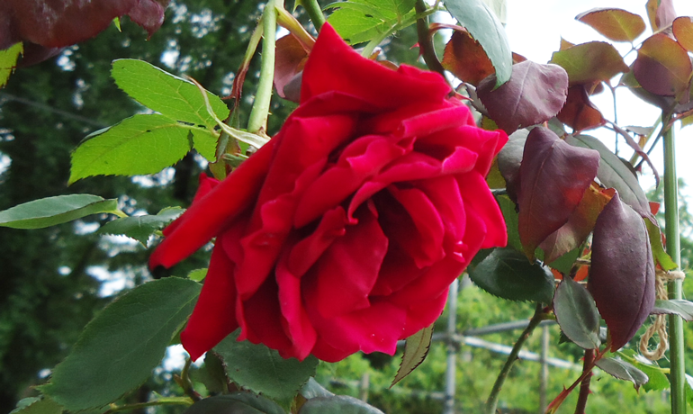 香りの女王「シャルルマルラン」