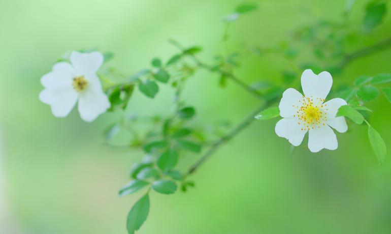 日本の薔薇の原点は…