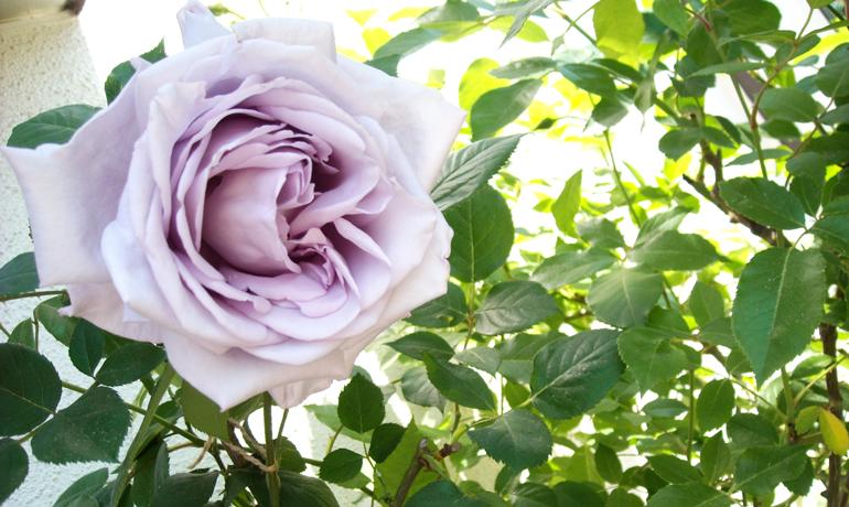 香り高くミステリアスな青い薔薇「ブルームーン」