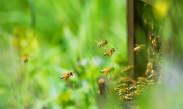 初夏のミツバチ~新女王蜂が誕生し「巣別れ」の時期~