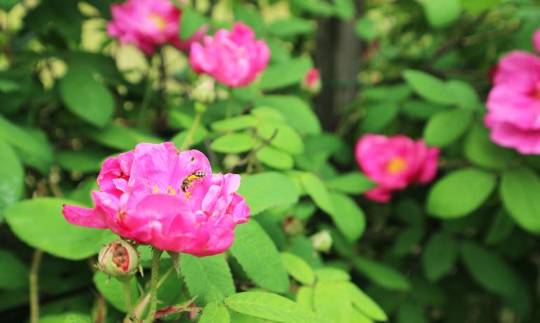 今年もダマスクとガリカが咲きました