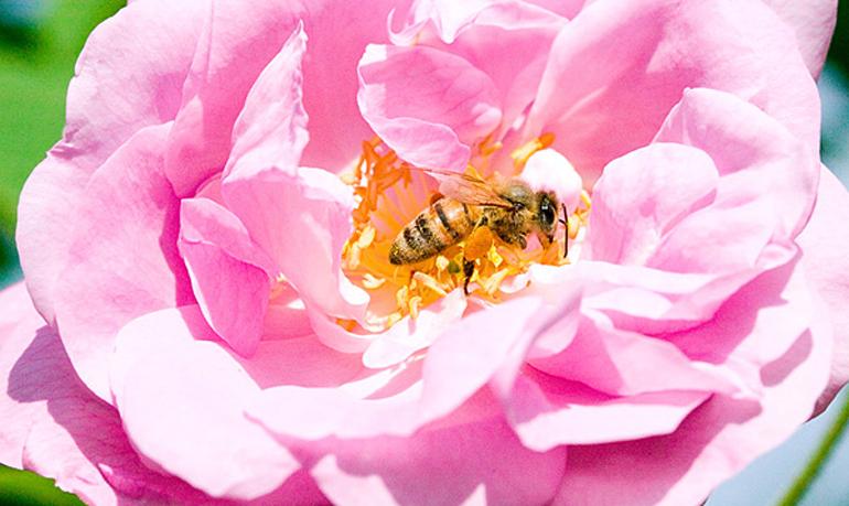 ミツバチに刺されないために!もし刺されたら?