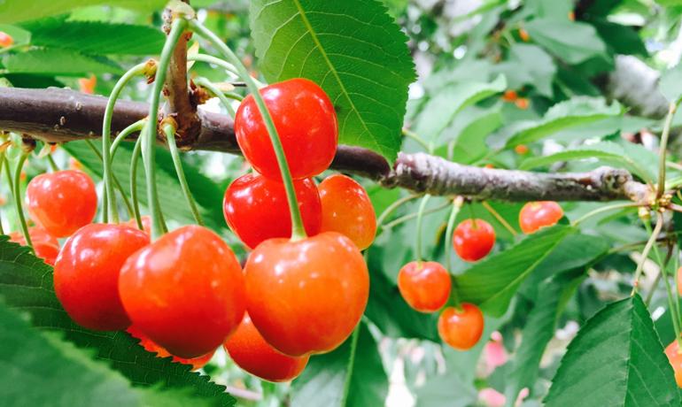 初夏が旬の真っ赤な果実さくらんぼ