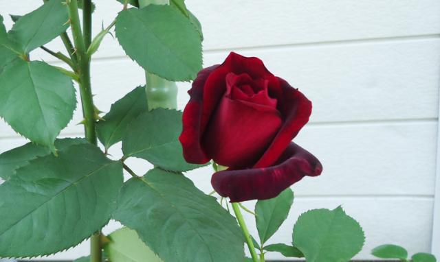 芳醇な香りの黒薔薇「パパメイアン」