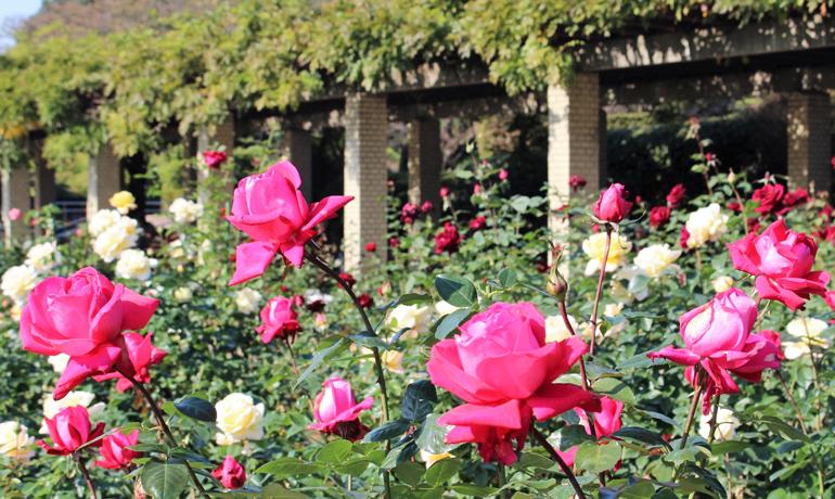 秋も薔薇の美しい季節!秋のバラ祭り
