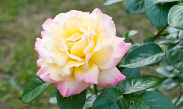 20世紀を代表する世界平和の薔薇「ピース」
