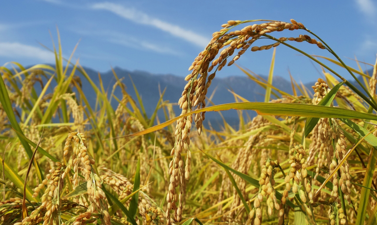 新米シーズン♪特別栽培米、有機栽培米とは?