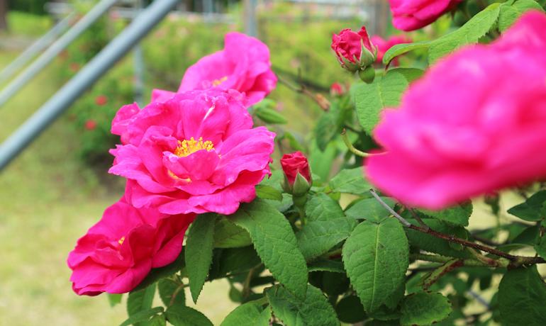 かわいらしい「丸弁」の薔薇