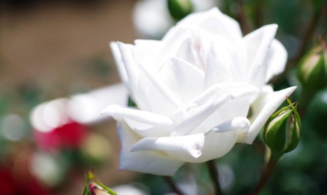 雪のように真っ白で美しい薔薇「新雪」