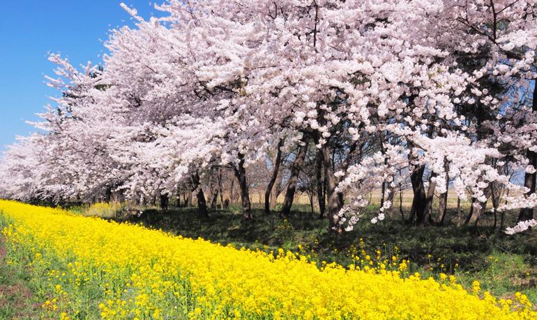 子供向けイベントも!「大潟村桜と菜の花まつり」2018開催