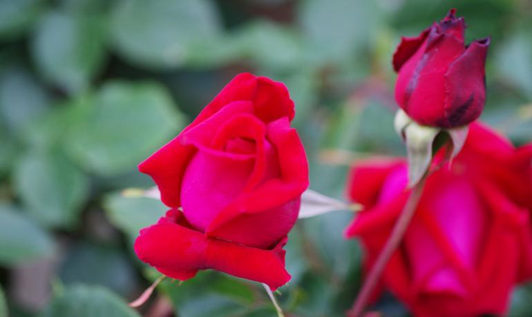 情熱の深紅が美しい「アンクル ウォルター」