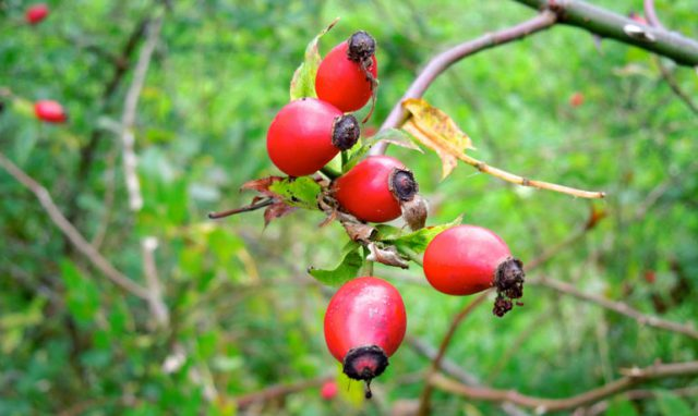 ビタミンC豊富な「ローズヒップ」が実る季節