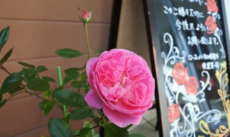 冬の薔薇のお手入れとオーキッドロマンスが咲きました
