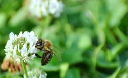 日本で飼育されているミツバチは2種類のみ!?