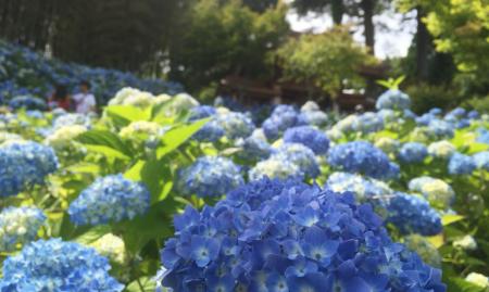 秋田の絶景スポット「あじさい寺」