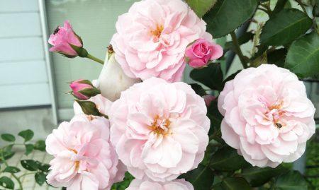 優しいピンク色の薔薇「エンジェルハート」